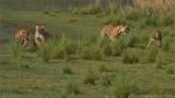 4 Tigers on the Run