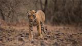 Royal Bengal Tiger Cub
