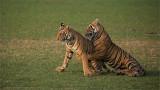 Royal Bengal Tiger Cubs at Play