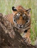 Royal Bengal Tiger - T39 Cub