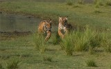 Two Tiger Cubs on the Run
