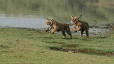 Cubs on the Run