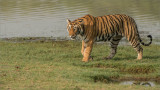 Female Tiger on the Grass
