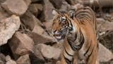 Royal Bengal Tiger Looking Up!