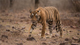 Royal Bengal Tiger Cub of T19