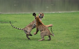 Tiger Sisters in Battle