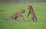 Royal Bengal Tigers in Battle