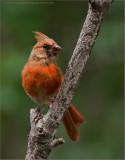 Cardinals and Buntings