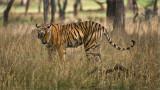 Royal Bengal Tiger in tall Grass