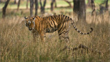 Royal Bengal Tiger in tall Grass (larger file)