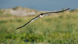 Black Skimmer in Flight