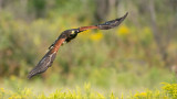 Harris's Hawk in Flight  (falconers bird)