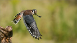 American Kestrel in Flight  (falconers bird)
