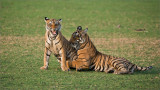 Tiger Sisters in Play