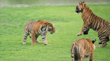 Tiger Siblings getting ready to Fight