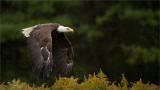 Bald Eagle in Flight (Falconers bird)