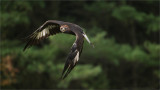Golden Eagle in Flight (falconers bird)