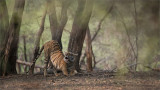 Royal Bengal Tiger in the Forest of Ranthambore