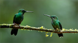 Green-crowned Brilliant Family