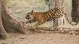 Male Royal Bengal Tiger