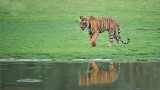 Royal Bengal Tiger with Reflection