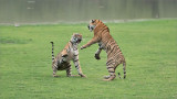 Tiger Sisters in a Fight