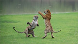 Royal Bengal Tiger Sisters in Battle