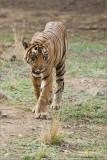 Royal Bengal Tiger Hunting