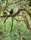 Resplendent Quetzal in Costa Rica