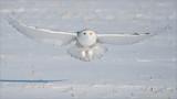 Snowy Owl in Flight Head On