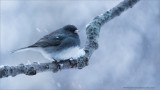 Junco Images