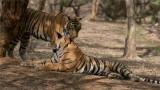Royal Bengal Tiger Sisters