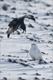 A Crow and an Owl