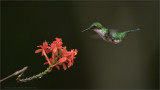 Booted Racket-tail in Ecuador