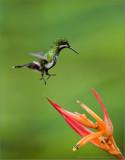Green Thorntail Landing