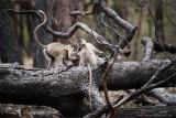 Gray Langur Monkeys in Battle