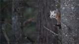 Pine Marten enjoying some Snow