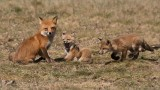 Fox Family 2