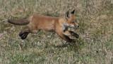 Red Fox Kit in Flight