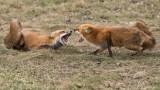 Female Foxes in a Dispute