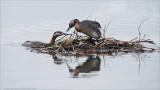 Red-necked Grebe Nest