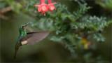 Buff-winged Starfrontlet in Ecuador