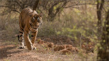 Tiger Hunting in India