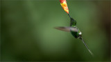 Green Thorntail Feeding