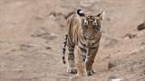 Tiger Cub in India