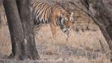 Tigress Arrowhead on the Prowl