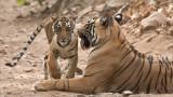 Tigress T60 and her Cub