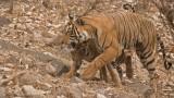 Tigress T60 and her Cub 2