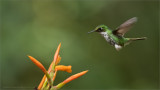 Female Booted racket-tail in Flight