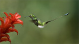 Male Booted racket-tail in Flight
